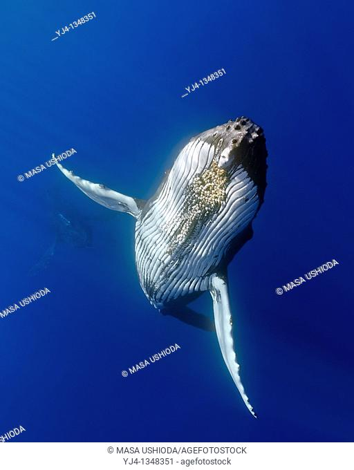 humpback whales, Megaptera novaeangliae, displaying courtship behavior - male aggressively pursuits female while blowing bubbles vigorously