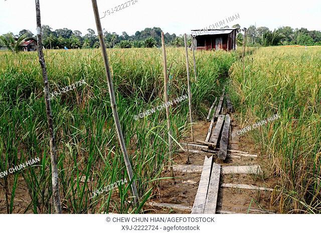paddy field, pontianak, indonesia, borneo