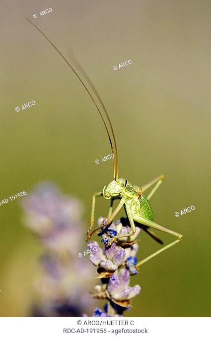 Saddle-backed Bush-Cricket, female, on Lavender, Provence, Southern France, Ephippiger ephippiger, Lavendula angustifolia, Saddle-backed Bushcricket