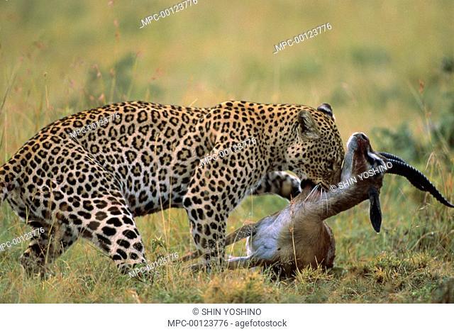 Leopard (Panthera pardus) suffocating an Impala (Aepyceros melampus), Masai Mara, Kenya