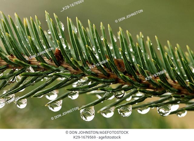 White spruce needles Picea glauca with rain drops, Greater Sudbury Lively, Ontario, Canada