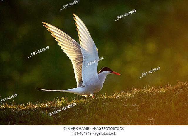 Arctic Tern (Sterna paradisaea) adult alighting on ground in late evening light. Iceland
