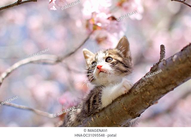 Cherry Blossoms and Kitty