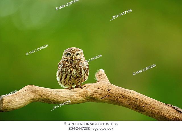 Little Owl, Athene noctua, Worcestershire, England, UK