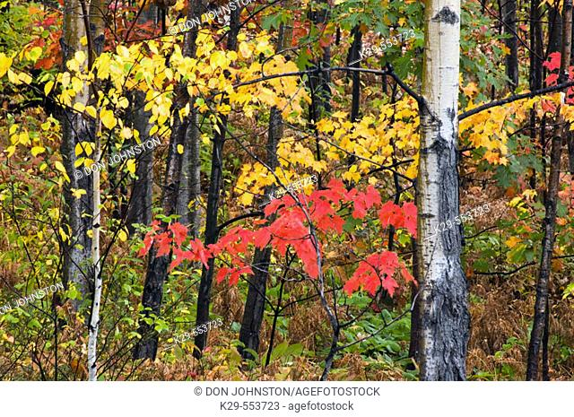 Aspens and red maple along Penage Road. Whitefish, Ontario, Canada
