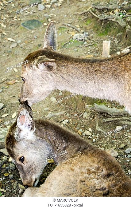 High angle view of deer biting ear, Nara, Japan