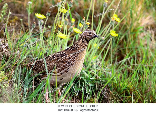 common quail (Coturnix coturnix), sitting in a meadow, Germany