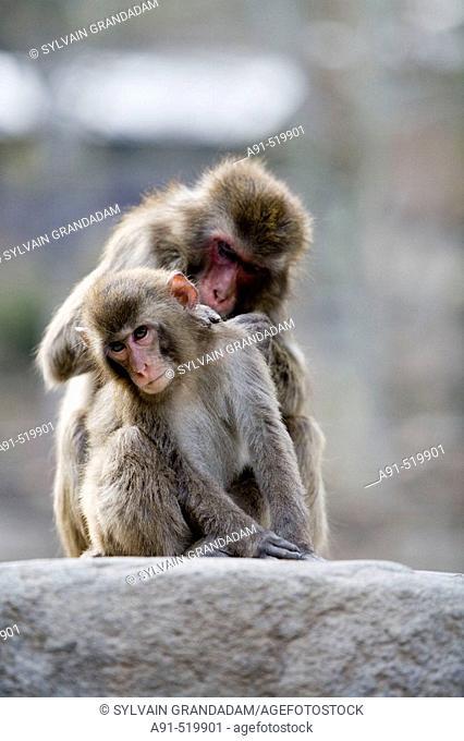 Japanese macaques macaca fuscata  Takasaki-yama, the monkeys mountains near Beppu  Island of Kyushu  Japan