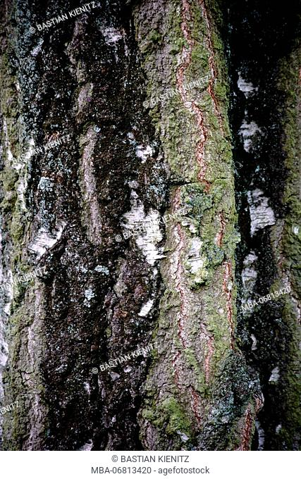 close-up of the bark of a birch