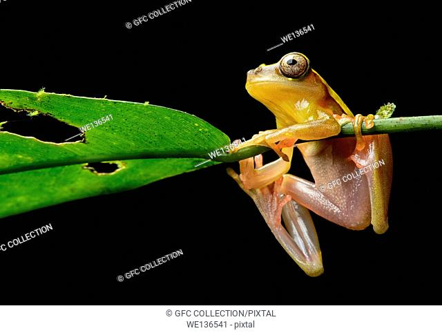 Surinam Clown treefrog (Dendropsophus leucophyllatus), Treefrog family (Hylidae), Amazon rainforest, Yasuni National Park, Ecuador