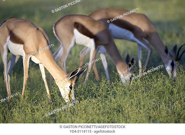 Springboks (Antidorcas marsupialis). Kgalagadi Transfrontier Park in rainy season, Kalahari Desert, South Africa/Botswana