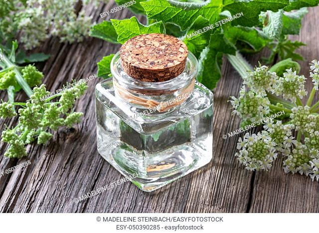 A bottle of essential oil with fresh blooming Angelica archangelica plant on a table