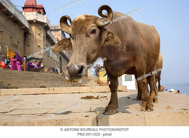 Buffalo on a ghat on the banks of the Ganges, Varanasi or Benares, State of Uttar Pradesh, India