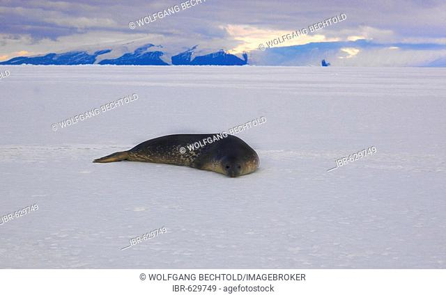Weddell Seal (Leptonychotes weddellii) on the ice in McMurdo Sound, Antarctic