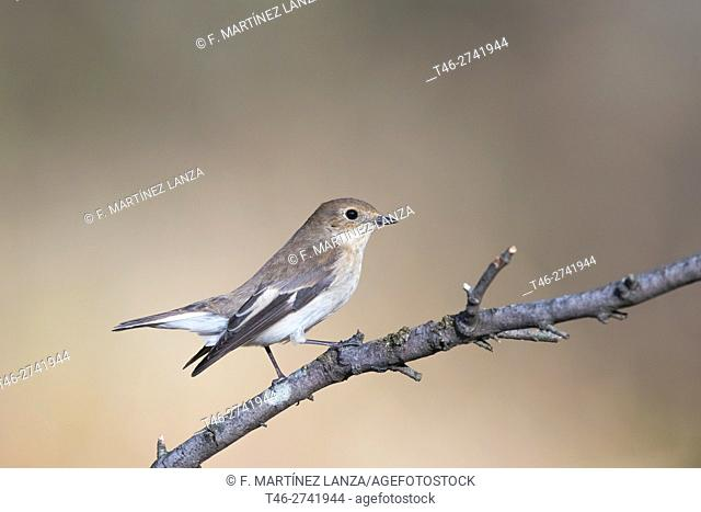 pied flycatcher (Ficedula hypoleuca), photographed in Fresnedilla de la Oliva Madrid