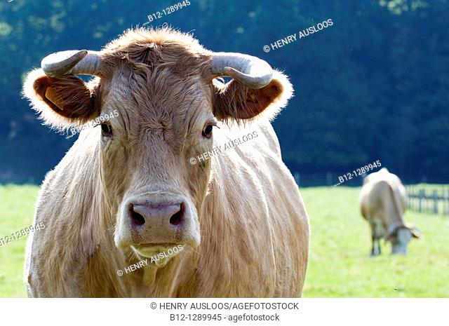 Limousin cattle, cow