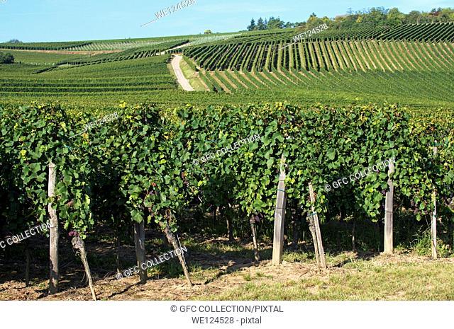 Pinot noir vines in a vineyard near Westhalten, Alsace, France
