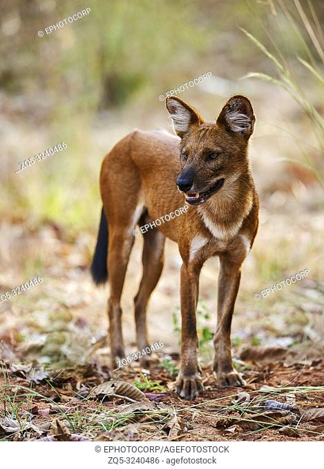 Closview of wild dog, Tadoba, Maharashtra, India