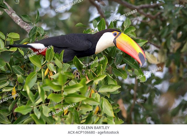 Toco Toucan (Ramphastos toco) perched on a branch in the Pantanal region of Brazil