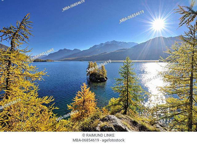 Larch trees at lake with sun in autumn, Lake Silsersee, Sils, Engadin, Grisons, Switzerland