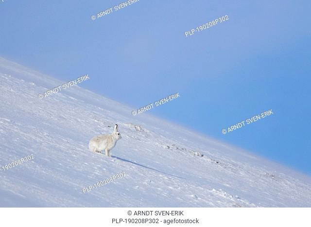 Mountain hare / Alpine hare / snow hare (Lepus timidus) in white winter pelage on mountain slope in the Cairngorms National Park, Scotland, UK