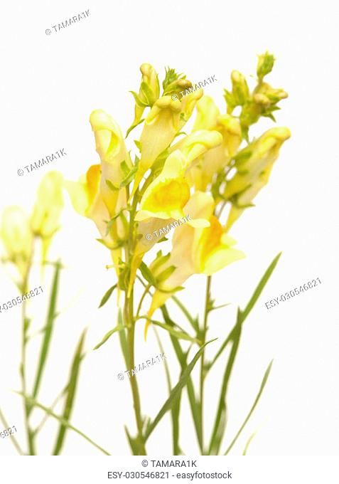 Linaria vulgaris ,common toadflax isolated on white background