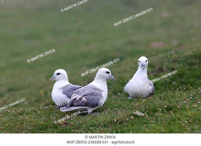 Northern Fulmar (Fulmarus glacialis), Noup Head on Westray, Orkney. Europe, Great Britain, Scotland, Northern Isles, Orkney, June
