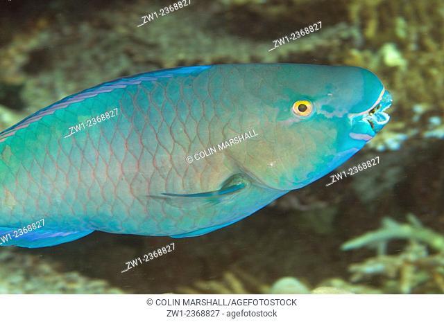 Tricolor Parrotfish (Scarus tricolor), Hanging Gardens dive site, Sipadan Island, Sabah, Malaysia