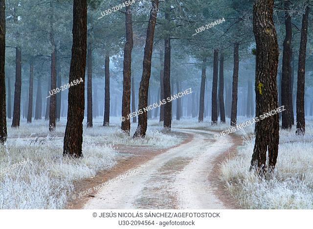 Frost in a pinewood in winter. Nieva village, in Segovia province. Spain