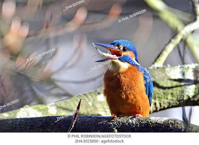 Kingfisher (Alcedo atthis) juggling a fish it has just caught, to swallow it head first. Kent (Loose Village, near Maidstone) UK. January