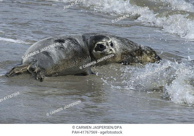 Two seals swim into the water after their return to the wild at East Frisian island Juist, Germany, 14 August 2013. Four young seals are on their own again...