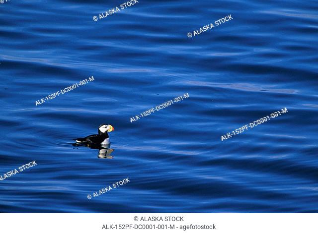 Horned Puffin in water Round Island Southwest AK summer scenic