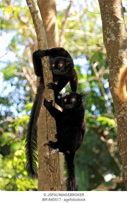 Black Lemur (Eulemur macaco), adult males in a tree, Nosy Komba, Madagascar, Africa