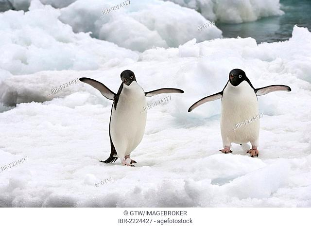 Two Adelie Penguins (Pygoscelis adeliae) on an ice shelf, Brown Bluff, Antarctic Peninsula, Antarctica