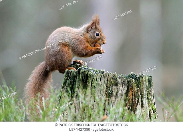 Eurasian Red Squirrel, Sciurus vulgaris, Europaeisches Eichhoernchen, Cairngorms NP, Scotland