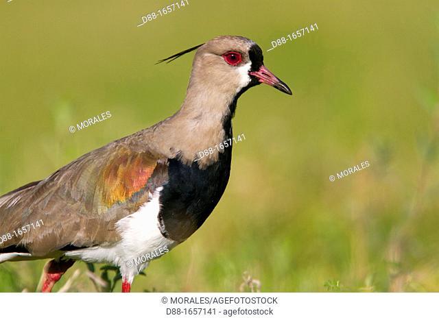 Southern Lapwing (Vanellus chilensis), Pantanal area, Mato Grosso, Brazil
