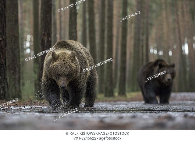 Brown Bear / Braunbaeren ( Ursus arctos ), walking through shallow the water of an ice covered puddle, exploring the frozen water, looks funny, Europe