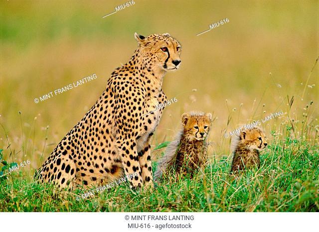 Cheetah and cubs, Acinonyx jubatus, Kenya