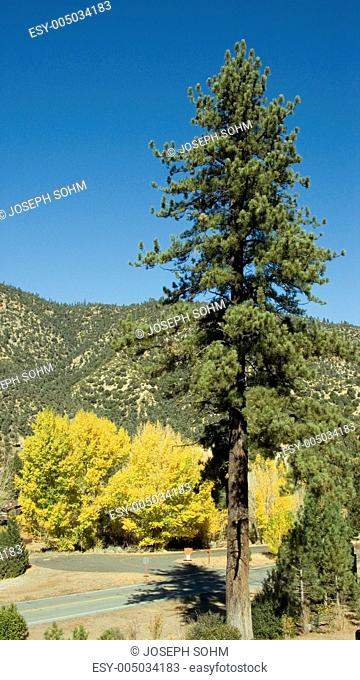 Pine tree and golden cottonwood in autumn along highway 33, California on way to Ojai
