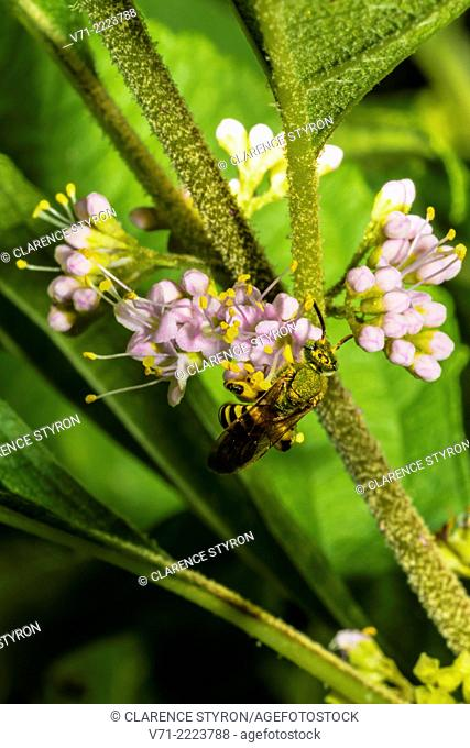 Virescent Green Metallic Bee (Agapostemon virescens) Feeding on Beauty Berry (Callicarpa americana) Flower