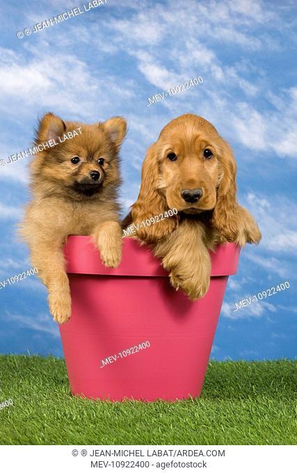 Dog - English Cocker Spaniel - with Dwarf Spitz - puppies. in flowerpot