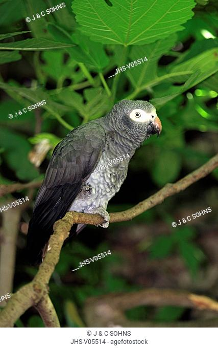 African Grey Parrot, Timneh Grey Parrot, Psittacus erithacus, South Africa, Africa, adult on branch