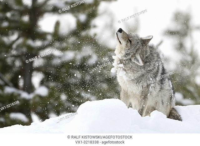 Coyote / Kojote ( Canis latrans ), in winter, high snow, sitting, standing, shaking snow and ice out of its fur, pelt, looks funny, Yellowstone NP, Wyoming, USA