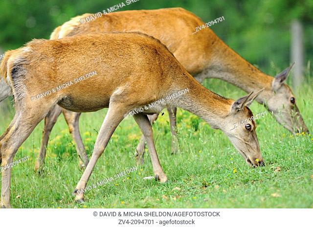 A group of red deer (Cervus elaphus) female on a meadow