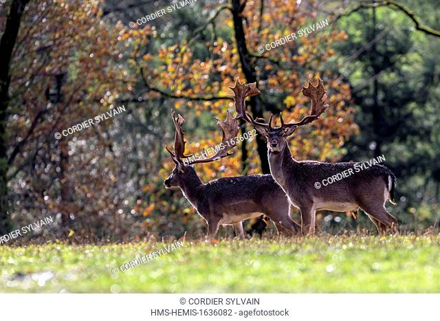 France, Haute Saone, Private park, Fallow Deer (Dama dama), buck