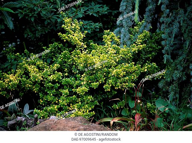 Ilex Crenata Golden Gem Stock Photos And Images Age Fotostock