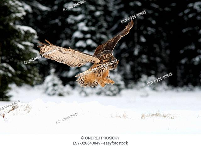 Eurasian Eagle Owl fly hunting during winter surrounded with snow
