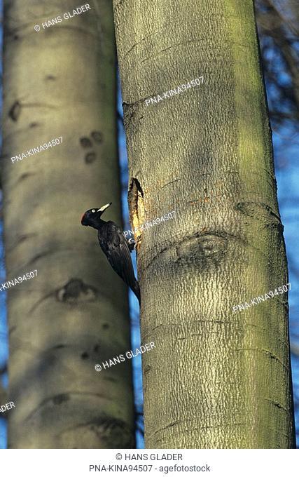 Black Woodpecker Dryocopus martius - Austria, Europe
