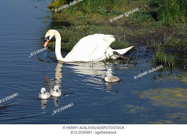 Mute Swan Cygnus olor, France, Family