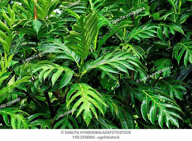 Africa, Mascarene , Mascarene Islands , Mascarenhas , Mauritius, East of Mauritius, Grand Port District, Blue Bay area, Breadfruit tree, Artocarpus altilis